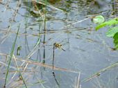 dragonfly macro dragonflies are also called snake doctordevils darning needle and mosquito hawks and they eat mosquitos blackflies and other small insects and they do not bite or sting humans but they will bite in order to escape.Lunenburg County Nova Sco poster
