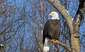 A Bald Eagle resting on a tree branch. He is slightly off center to the right of the frame leaving the left of center open for ad space poster
