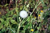 A seed head of the field sow thistle (Sonchus arvensis), also called corn sow thistle, dindle,gutweed, swine thistle, tree sow thistle, and field milk thistle, during September in Joliet, Illinois. poster