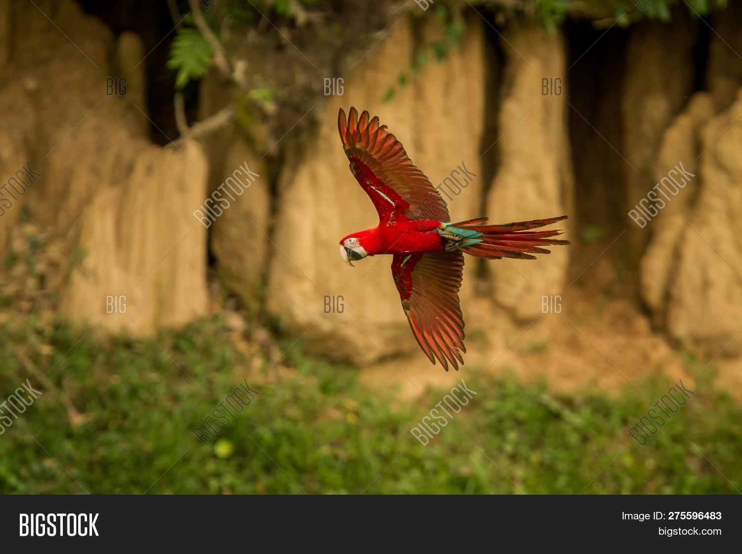 Macaw Flying, Green Vegetation And Brown Clay Lick In Background