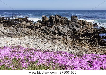 Wildflowers And Rocky Shore Of Asilomar State Beach. Pacific Grove, Monterey County, California, Usa