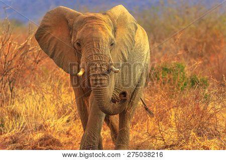 African Elephant, Loxodonta, Walking In Savannah. Game Drive Safari In Madikwe Game Reserve, South A
