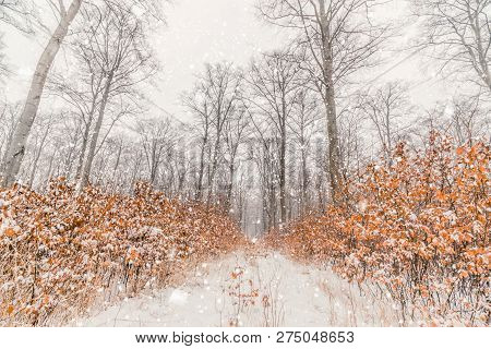 Snow Falling In A Forest With Tall Trees And Covering The Nature With Snow
