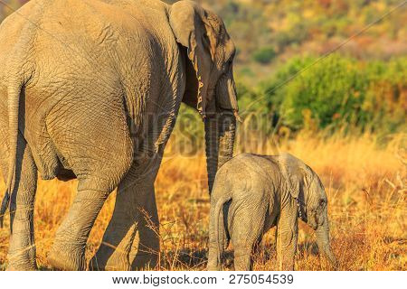 Back Side Of Mother Elephant With Calf Walking Together. Safari Game Drive In Pilanesberg National P