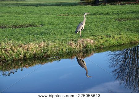 Heron Reflecting On The Water Surface At A Meadow In Nieuwerkerk Aan Den Ijssel In The Netherlands