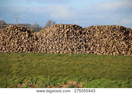 Pile Of Sugar Beets Drying In The Autumn Sun On Farm In Moerkapelle In The Netherlands