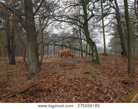 Scottish Highland Cattle In The Forest Of Eemnes Grazing Grass In The Netherlands.