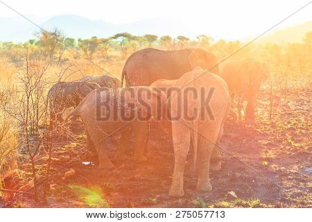 Group Of Elephants Seen From Behind Eat With Sunset Light. Safari Game Drive In Pilanesberg National