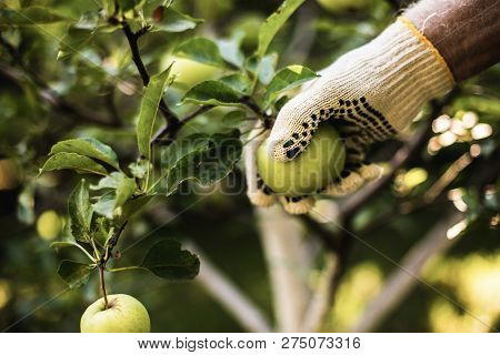 Hand Of Agrarian Man Picking Green Apple