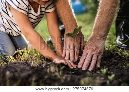 Hands Of Senior Man With Granddaughter Gardening Outside