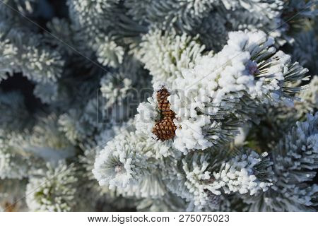 Pine Covered With Frost