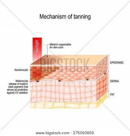 Mechanism Of Tanning. Skin Pigmentation. Cross-section Of The Human Skin. Vector Illustration For Bi