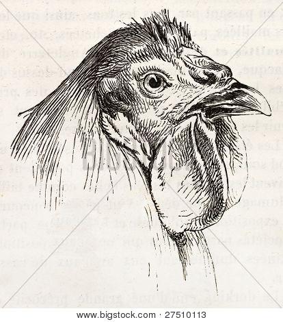 Breda chicken head old illustration. Created by Jacque and Lavieille, published on Merveilles de la Nature, Bailliere et fils, Paris, ca. 1878