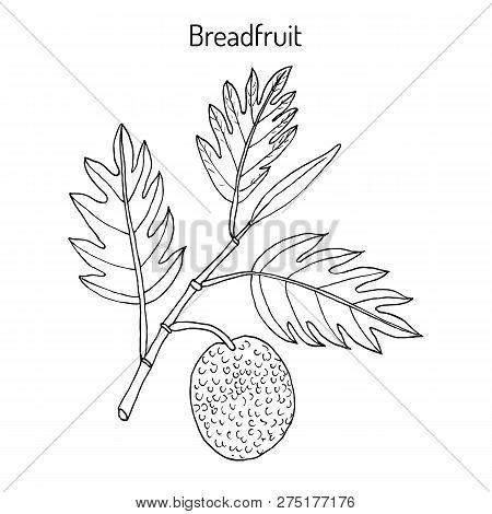 Breadfruit Artocarpus Altilis , Eatable And Medicinal Plant. Hand Drawn Botanical Vector Illustratio