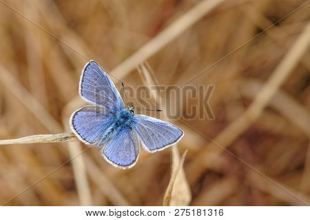 This Is The Common Blue Butterfly, Polyommatus Icarus. As Its Name Suggests This Is One Of The Commo
