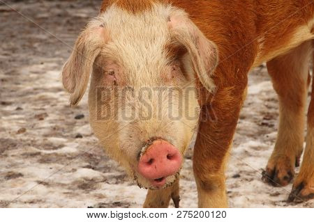 A Closeup Of A Hereford Hog Showing His White Face They Are   Colored Like A Hereford Cow.
