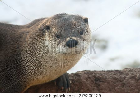 A Closeup Of A Otter Sitting On Rocky Ledge.