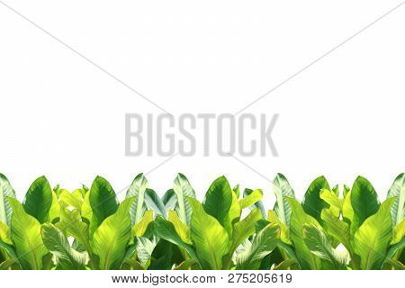 Tropical Leaf Tropical Foliage Nature Isolated Background For Decorations Copy Space Message, Strip