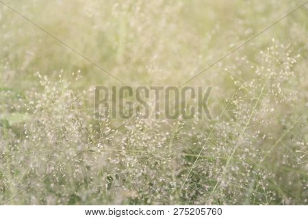 Blurred Grass Nature, Soft Grass Flowers Fresh For Background, Small Grass Meadow Blur In Sun Light