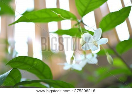 Water Jasmine, Wrightia Religiosa, Central Of Thailand