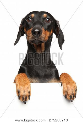 Cute German Pinscher Puppy Above Banner, Isolated On White Background. Animal Themes