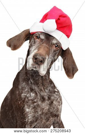 Portrait Of A German Short-haired Pointer Or Kurzhaar In Santa Red Hat, Isolated On White. Christmas