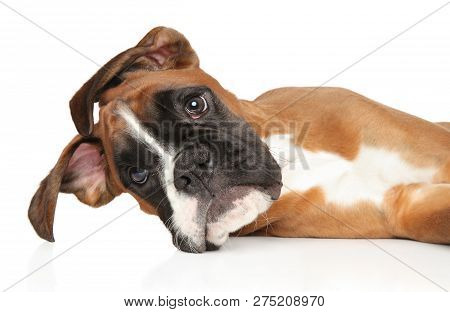 Young, Funny Boxer Puppy, Resting. Close-up Portrait In Front Of White Background. Baby Animal Theme