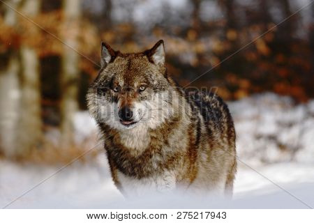 Beautiful Wolf (canis Lupus) In Winter, Wolf In Snowy Landscape, Attractive Winter Scene With Wolf,