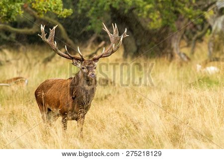 Male Red Deer (cervus Elaphus) With Huge Antlers During Mating Season In Denmark, Mating Season, Maj