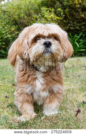 Red Lhasa Apso Dog In A Garden Looking At The Camera