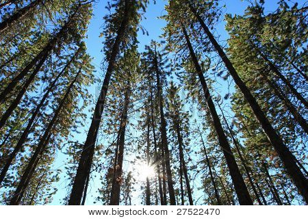 Pine Trees With Sun