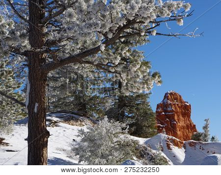 Pine Tree Boughs With Frost Gleaming In The Sunlight In The High Elevated Red Rock Country