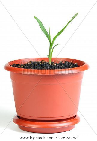 Little Sprout In The Flowerpot