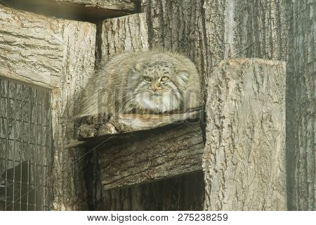 A Pallas Cat Sitting On A Ledge. Pallas Cats Are About The Size Of A  Large Domestic Cat.