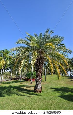 palm tree garden in the park / beautiful palm garden and flower tropical plant on blue sky background - date palm tree
