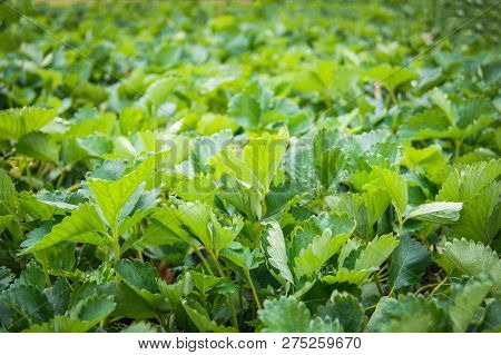 strawberry plant farm / fresh organic strawberries growing plantation on strawberry fields in the farm garden on natural leaves green background - agriculture mountain