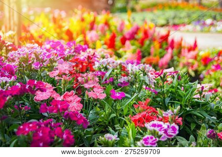 Colorful garden flower / Multi color green lawn in colorful landscape plant and flower blooming spring garden with Dianthus Celosia argentea or Plumed cockscomb blossom on background selective focus