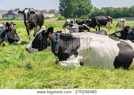 Holstein-friesian Cows Rest During The Heat Of The Farm.