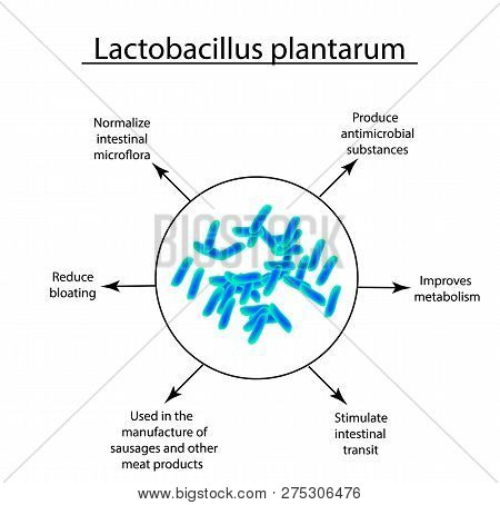 Useful Properties Of Lactobacillus. Probiotic. Lactobacillus Plantarum. Infographics. Vector Illustr