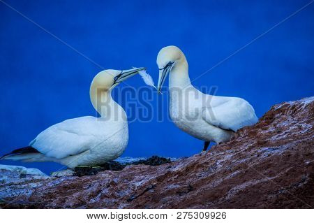 Northern Gannet (morus Bassanus), Mating Gannets On Cliffs, Helgoland In Germany, Bird Colony, Typic