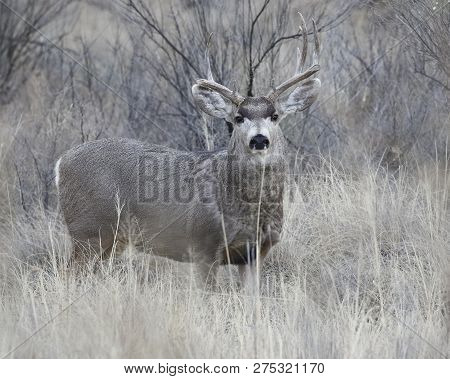 Male Mule Deer (Odocoileus hemionus) with antlers damaged from fighting - Bosque del Apache NWR, New Mexico poster