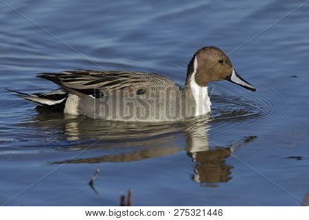 Northern Pintail (Anas acuta) swimming on a pond - Bosque del Apache National Wildlife Refuge, New Mexico poster