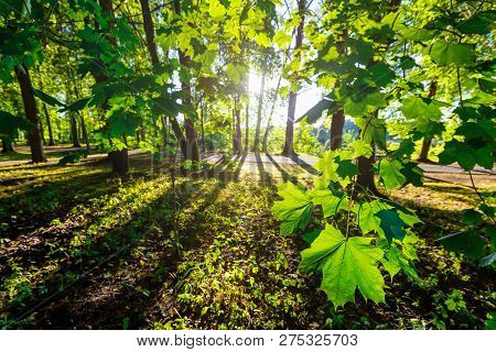 Maples With Maple Leaves And Other Green Trees In Tranquil Verdant Park With Long Shadows  In Summer