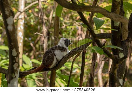Cotton Top Tamarin Monkey - Saguinus Oedipus -sitting On A Tree Branch