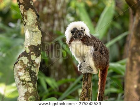 Cotton Top Tamarin Monkey - Saguinus Oedipus - Sitting On Top Of A Tree Branch