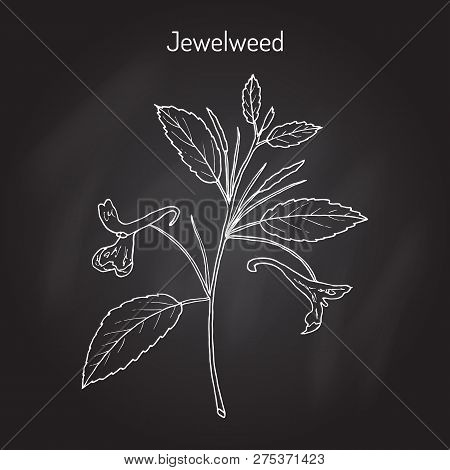 Jewelweed Impatiens Capensis , Or Spotted Touch-me-not, Or Orange Balsam, Medicinal Plant. Hand Draw