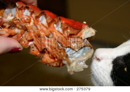 poster of cat eating lobster fed by hand