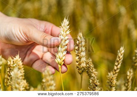 Mans Hand Touching Wheat Ears Closeup. Hand Of Farmer Touching Wheat Corn Agriculture. Harvest Conce