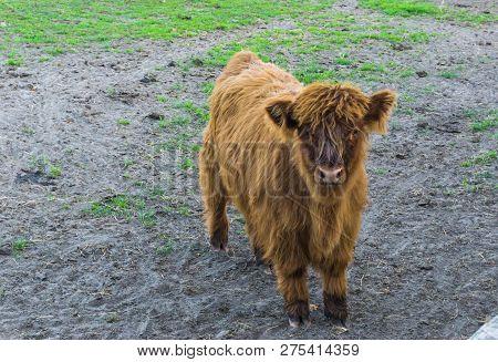 Brown Highland Calf, A Juvenile Highland Cow
