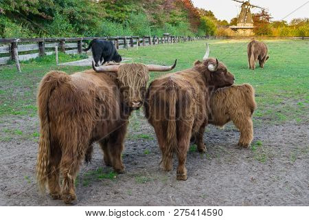 Brown Highland Cow Family Portrait, Highland Cows Standing In The Pasture Together